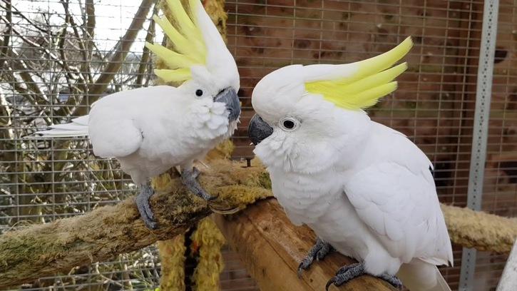 Coppia papagalli