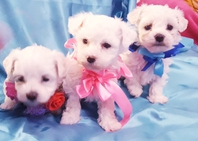 Maltese cuccioli